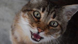 Verhaltenstherapie für Tiere: Katze miaut ständig fordert Aufmerksamkeit