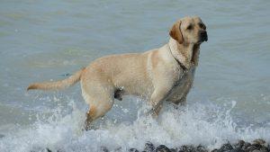 Labrador Retriever Wasser